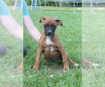 Boxer Lab puppies for sale