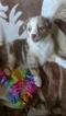 Australian Shepherd Puppy For Sale in STRAFFORD, MO, USA