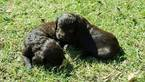 Boykin Spaniel Puppy For Sale in LANCASTER, SC, USA