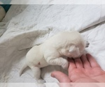 Small Photo #77 Labrador Retriever Puppy For Sale in NEW LENOX, IL, USA