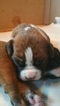 Boxer Puppy For Sale in SAYRE, PA