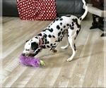 Small #3 Dalmatian
