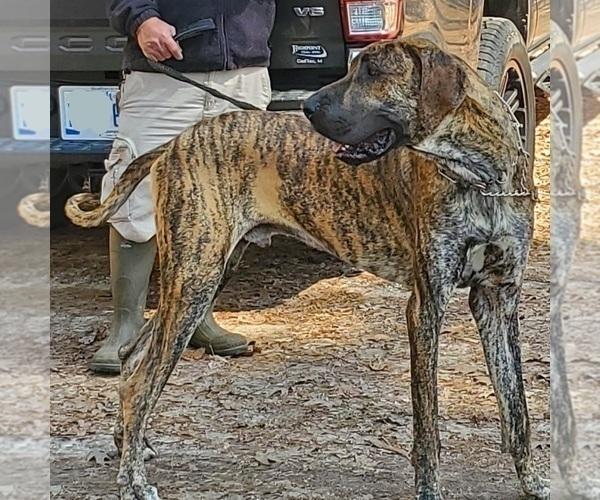Medium Photo #1 Great Dane Puppy For Sale in CADILLAC, MI, USA