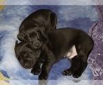 Small #18 Labrador Retriever