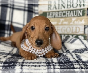 Dachshund Puppy for sale in CEDAR LANE, PA, USA