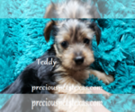 Puppy 2 Yorkshire Terrier