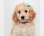 Puppy 4 Goldendoodle (Miniature)