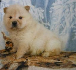 Chow Chow Puppy For Sale in MIAMI, FL