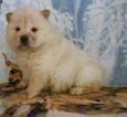 AKC crem  Female Chow Chow Puppy