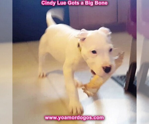 Medium Photo #141 Dogo Argentino Puppy For Sale in PINEVILLE, MO, USA