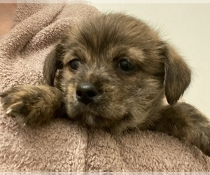 ShiChi-Unknown Mix Dogs for adoption in MAHWAH, NJ, USA
