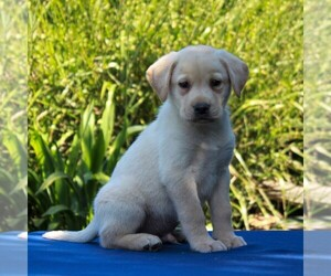 Labrador Retriever Puppy for sale in GORDONVILLE, PA, USA
