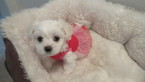 Maltese Puppy For Sale in PORTLAND, OR, USA