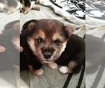 Puppy 2 Shiba Inu