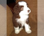 Puppy 3 Bearded Collie