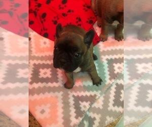 French Bulldog Puppy for Sale in LEXINGTON, South Carolina USA
