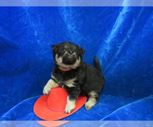 Poo-Shi Puppy for sale in HARTVILLE, MO, USA