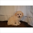 Poodle (Miniature) Puppy For Sale in TUCSON, AZ, USA