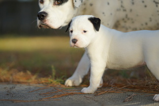 American Bulldog Puppy For Sale in FAYETTEVILLE, NC, USA