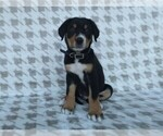 Puppy 4 Greater Swiss Mountain Dog