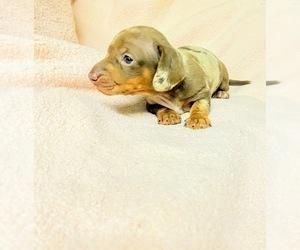 Dachshund Puppy for sale in AGUA DULCE, CA, USA