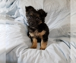 Small Chorkie-Yorkshire Terrier Mix
