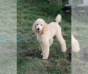 Poodle (Standard) Puppy for sale in NEVADA, TX, USA