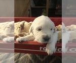Small Photo #5 English Cream Golden Retriever Puppy For Sale in ARCHBALD, PA, USA
