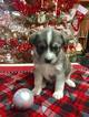 Pomsky Puppy For Sale in AUGUSTA, WV, USA