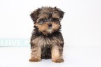 Shorkie Tzu Puppy For Sale in NAPLES, FL, USA