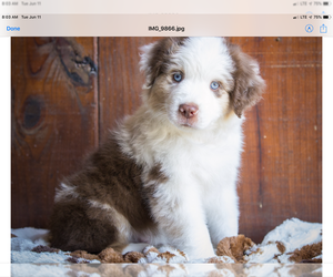 Medium Miniature American Shepherd