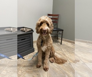 Mother of the Goldendoodle puppies born on 08/16/2020
