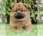 Puppy 9 Chow Chow