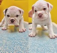 Original English Bulldogge Puppy For Sale in KANEOHE, HI