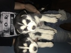 Siberian Husky Puppy For Sale in PALATINE, Illinois,