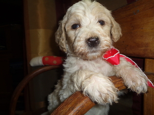 Miniature Labradoodle Puppy for sale in HUNTSVILLE, IL, USA