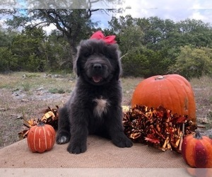 Newfoundland Puppy for Sale in FORT COLLINS, Colorado USA
