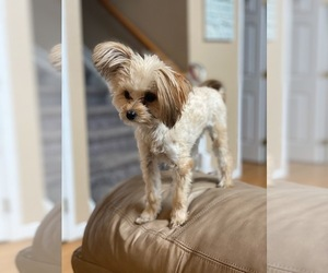 Morkie Puppy for sale in JOHNSTOWN, CO, USA