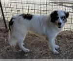 Small #116 Australian Shepherd-Great Pyrenees Mix