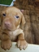 Vizsla Puppy For Sale in ROSEVILLE, CA, USA