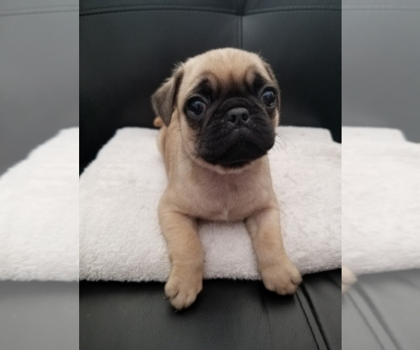 View Ad: Pug Litter of Puppies for Sale near Sweden