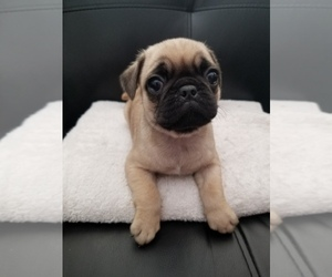 Pug Puppy for Sale in TUCSON, Arizona USA