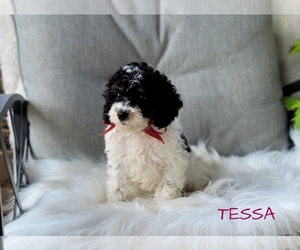 Cavapoo-Poodle (Toy) Mix Puppy for Sale in MILLERSBURG, Ohio USA