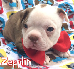 Boston Terrier Puppy for sale in EAST EARL, PA, USA