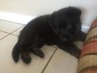 German Shepherd Dog Puppy For Sale in HIALEAH, FL