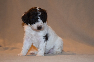 Poodle (Standard) Puppy For Sale in ARLINGTON, WA