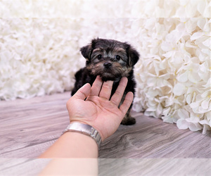 Morkie Dog for Adoption in FULLERTON, California USA