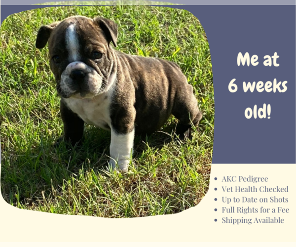 Full screen Photo #2 English Bulldog Puppy For Sale in NEOSHO, MO, USA