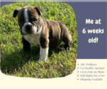 Small Photo #2 English Bulldog Puppy For Sale in NEOSHO, MO, USA