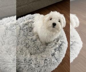 Mal-Shi Puppy for Sale in CONCORD, Virginia USA